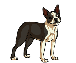 Boston Terrier border=