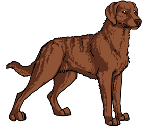 Chesapeake Bay Retriever border=