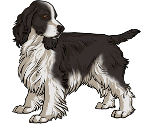 English Springer Spaniel border=
