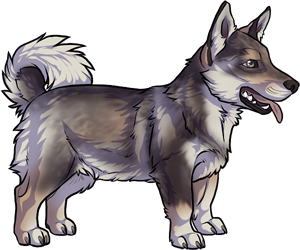 Swedish Vallhund border=