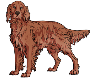 Irish Setter border=